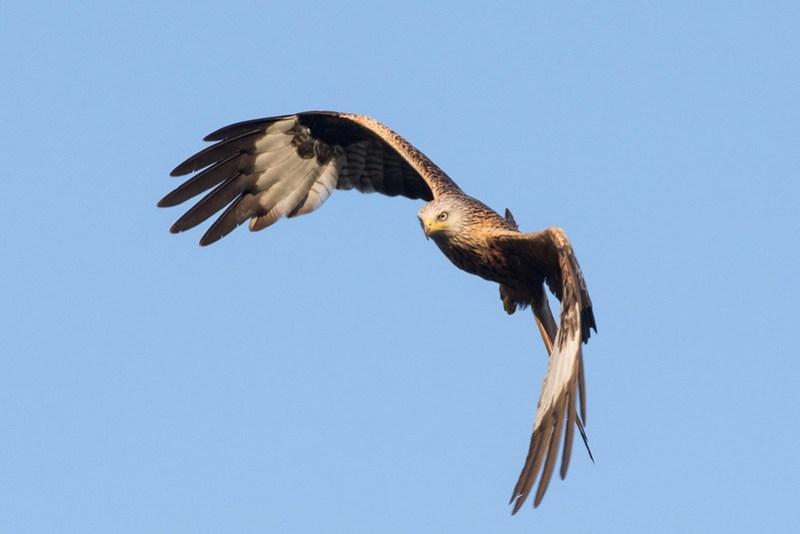Red Kite , Watlington Town Centre