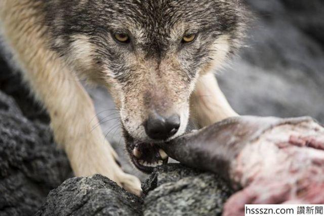 swimming-sea-wolves-pacific-coast-canada-ian-mcallister-12_700_466