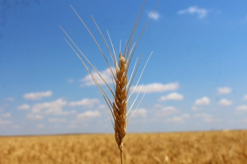 Lone wheat head.