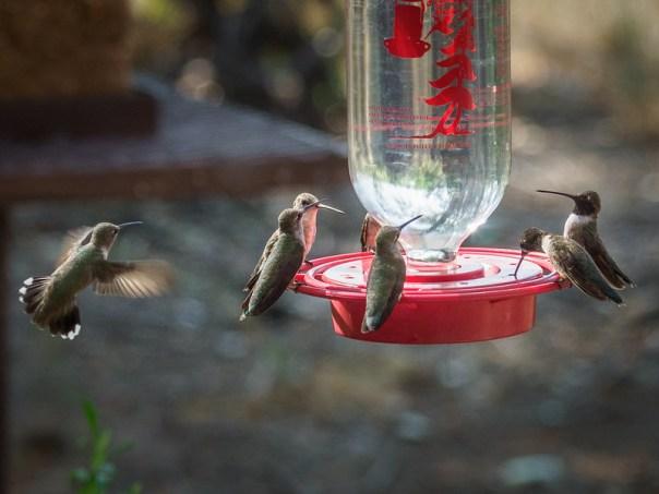 NM birds: Black-chinned Hummingbirds and Broad-tailed Hummingbird
