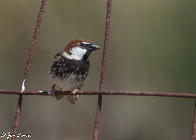 Spanish Sparrow bird photo call and song Passer