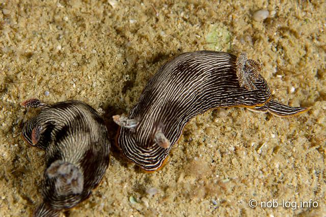 ホソスジイロウミウシ