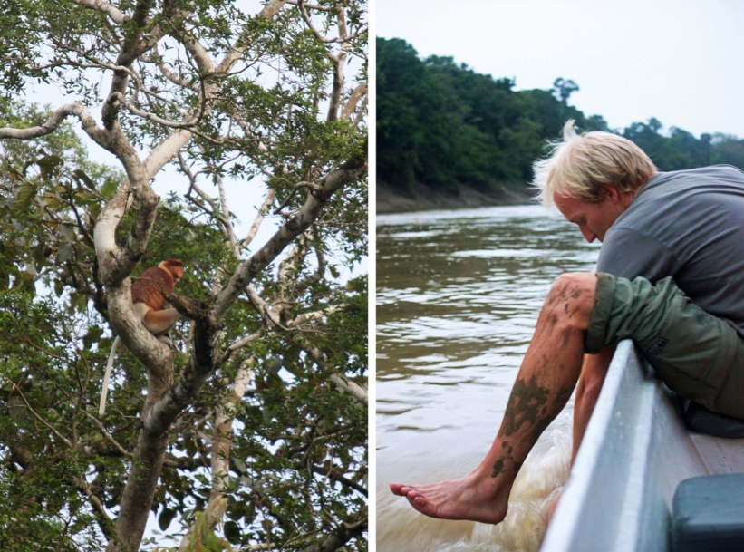 næseabe på Borneo, Malaysia