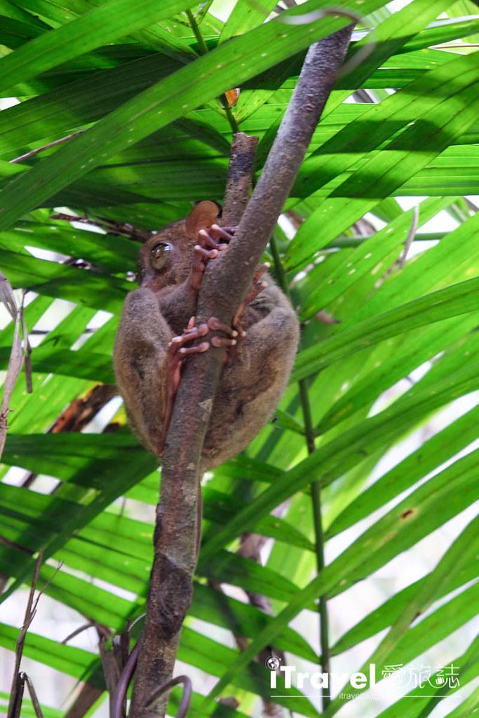 菲律宾薄荷岛眼镜猴保育中心 Tarsier Sanctuary (12)