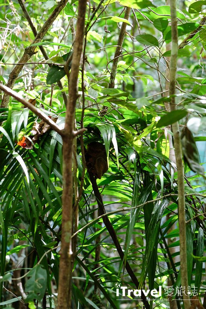 菲律宾薄荷岛眼镜猴保育中心 Tarsier Sanctuary (10)