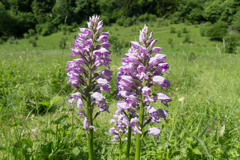 The Military Orchid