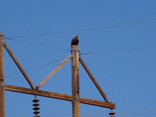 NM birds: Golden Eagle