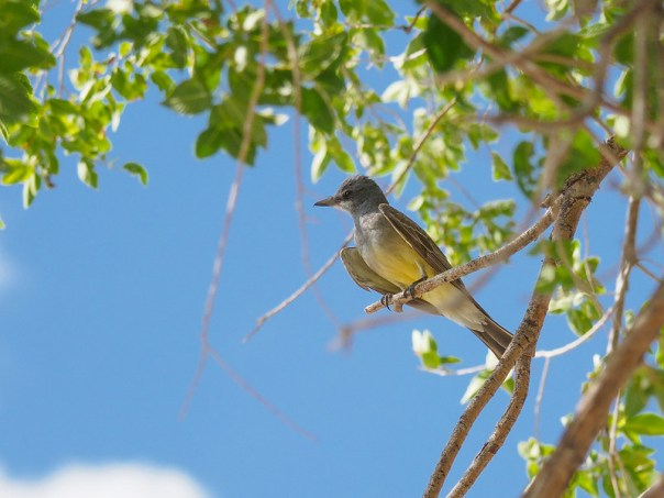 NM birds: Caissin's Kingbird
