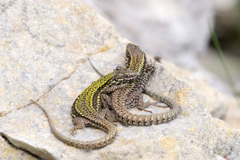 Pair of Wall Lizards