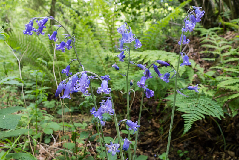English Bluebell at Kilwood
