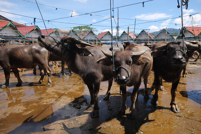 Bolu Water Buffalo Market
