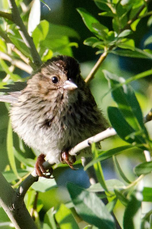DSC_4745 Song Sparrow