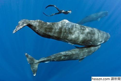 sperm-whales-sleep-franco-banfi-3-59689321047ea__700_700_467