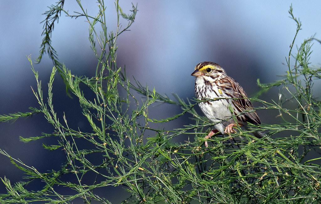 Savannah Sparrow - Bruant des prés - Passerculus sandwichensis (D72_1857-1F-20170713)