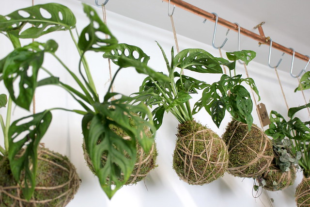 Spiderplant