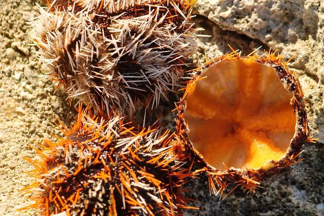 Suwake Sea Urchin