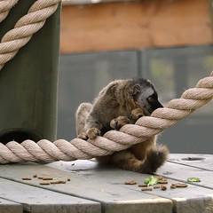 Lemur Rope Lounging 7D2_2576