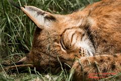 Tired Lynx (Lynx lynx)