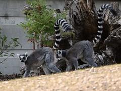 Ring-tailed Lemur 7D2_2593
