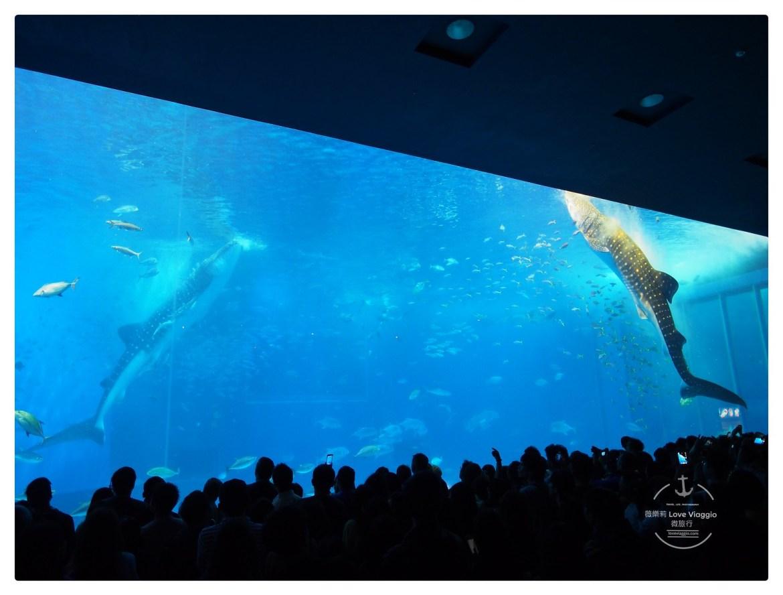 水族館,沖繩,美麗海水族館,鯨鯊,鯨鯊進食秀 @薇樂莉 Love Viaggio   旅行.生活.攝影