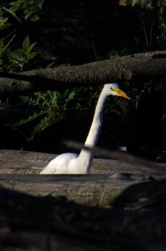 DSC_4655 Great Egret