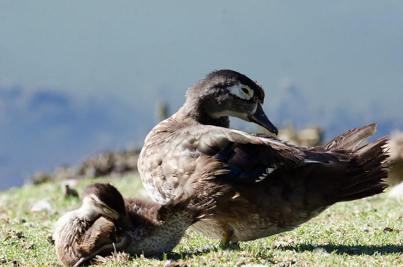 DSC_4964 Wood Duck