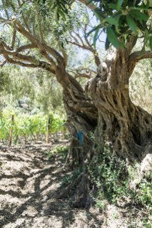 Olivenbaum, 200 Jahre alt