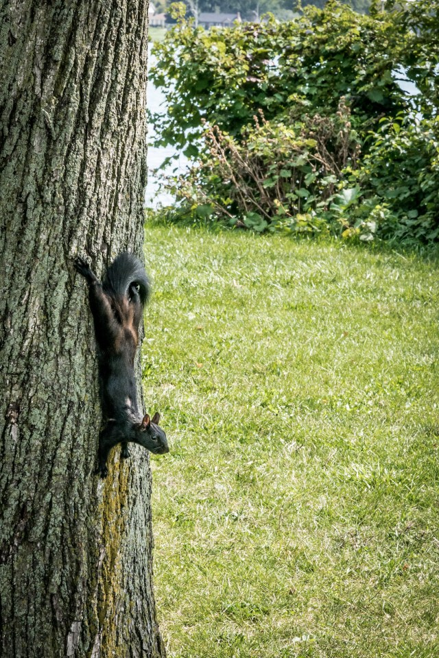 how cute are these black squirrels?!