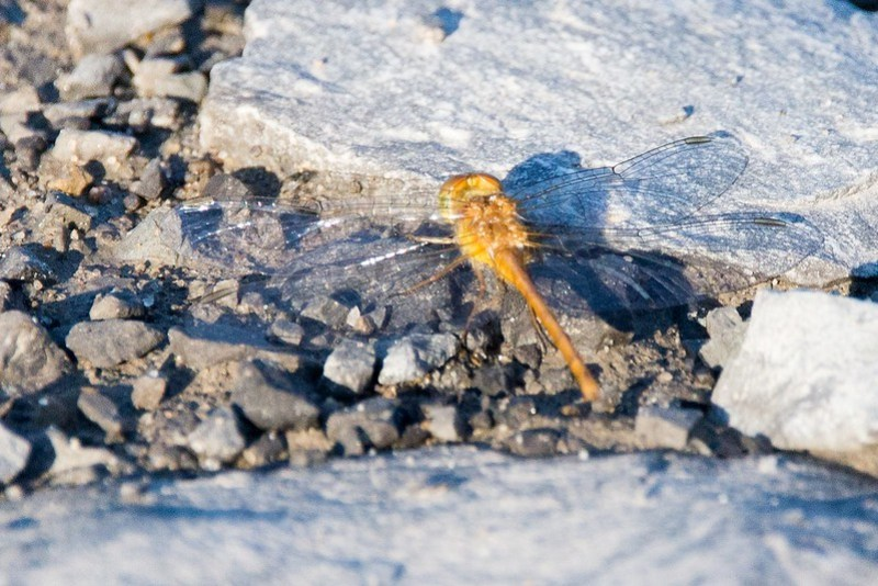 _DSC7995 Orange Dragonfly