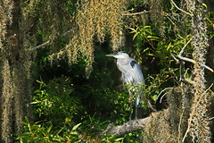 Great Blue Heron Watching over the Water