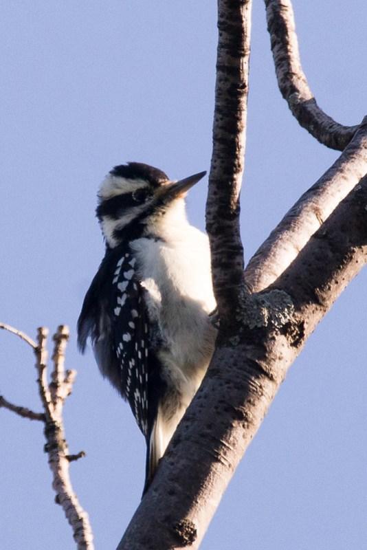 _DSC0617 Hairy Woodpecker