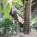Young African crown crane