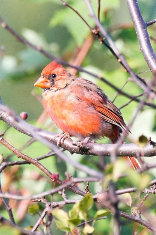 _DSC9934 Norther Cardinal