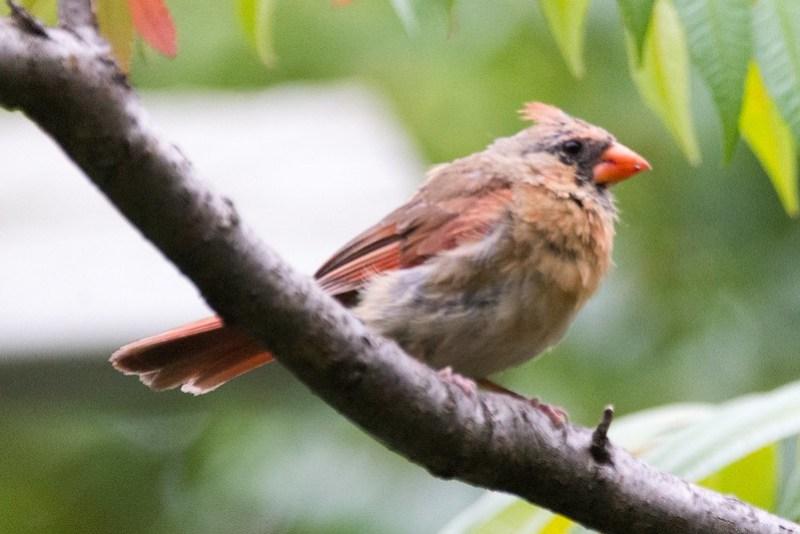 _DSC8804 Northern Cardinal