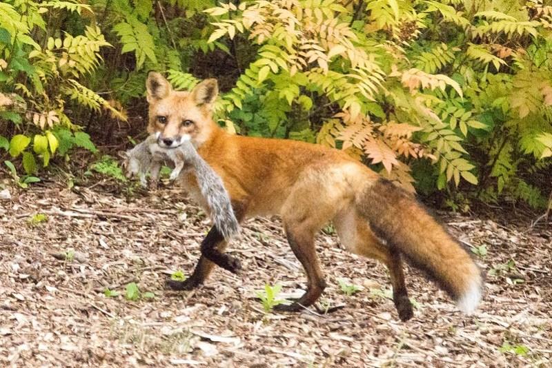 _DSC8722 Red Fox