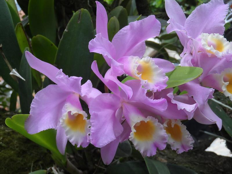 Orquídeas cultivadas en la Universidad EAFIT. Agosto 8 de 2017