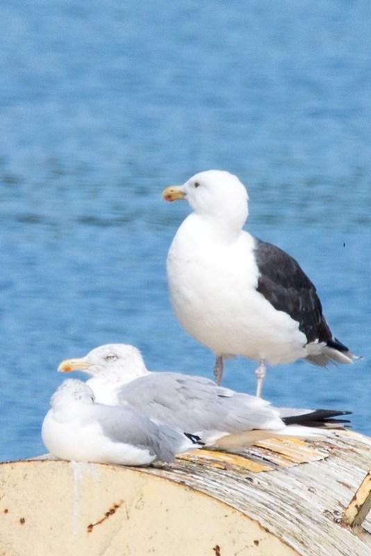 _DSC9006 Ringed-bill, Herring Gull & Great Black Back Gull