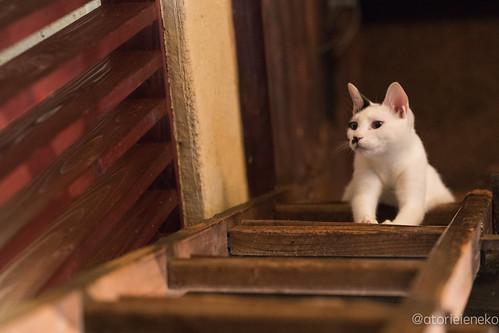 アトリエイエネコ Cat Photographer 36818563302_bf65ebefd8 1日1猫! 喫茶のんのん(大阪市平野区長吉六反2丁目1−7) 1日1猫!  猫写真 猫 子猫 大阪 写真 保護猫 スマホ カメラ Kitten Cute cat