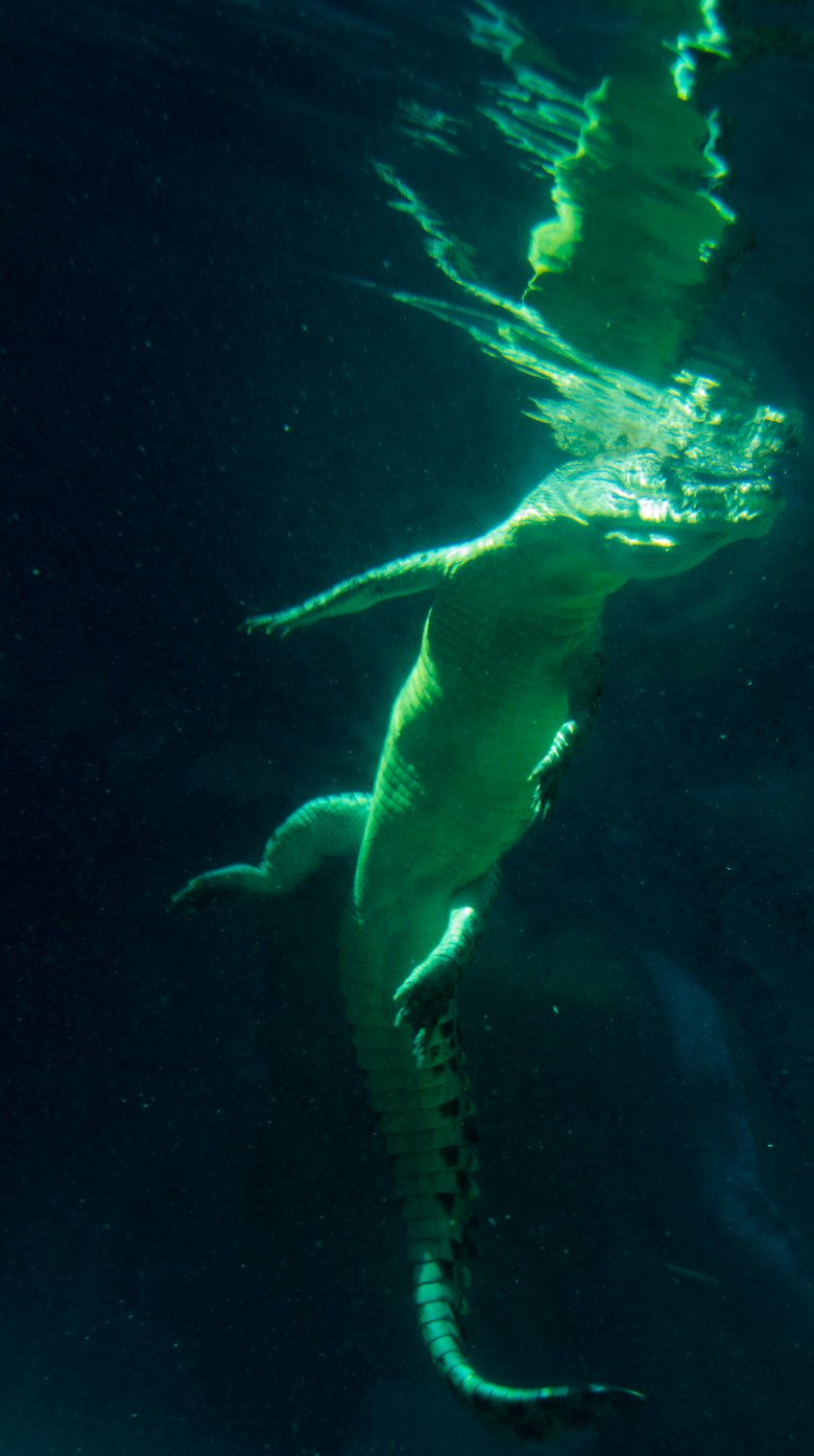 australian saltwater crocodilel