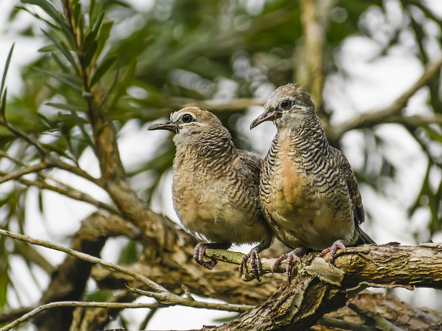 Zebra doves (aka barred ground doves) in tree