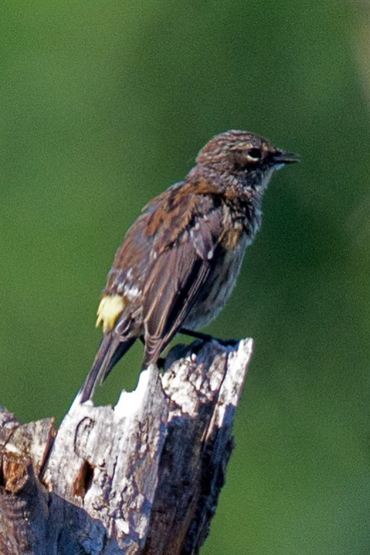 _DSC8501 Yellow-rump warbler