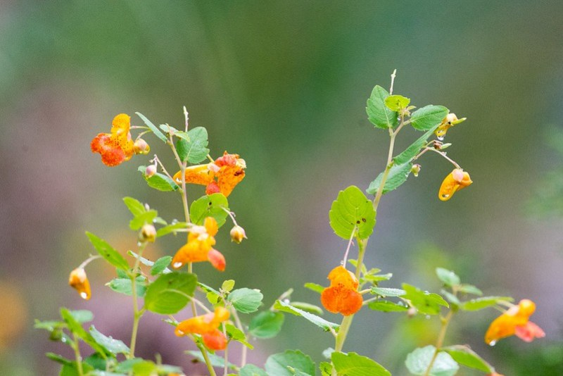 _DSC9151 Spotted Jewelweed