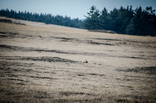Wild Rabbits on San Juan Island-001