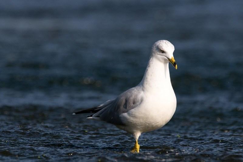 _DSC9405 Ringed-bill Gull