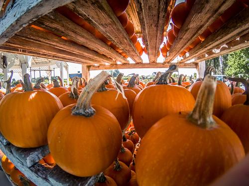 Schuh Farms and Pumpkins-015