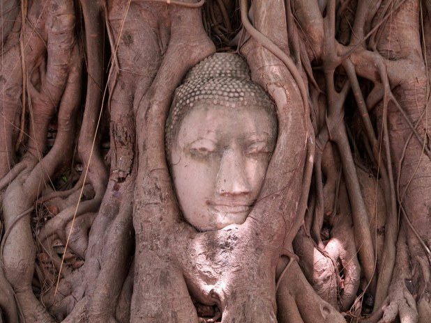 Buda enredado en Ayutthaya