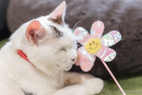 アトリエイエネコ Cat Photographer 36350078016_42918a162f 保護猫カフェかぎしっぽ