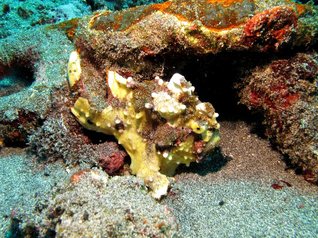 Warty Frogfish at Crystal Bay