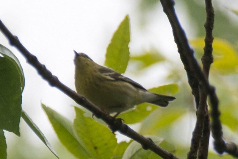 _DSC8853 Blackpoll Warbler