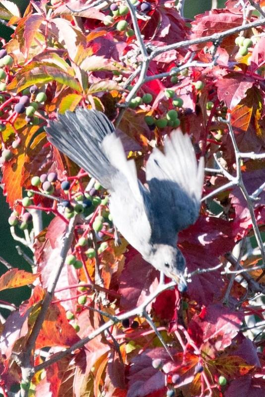 _DSC8406 Grey Catbird